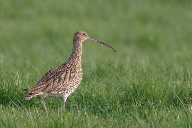 Vervalt voorlopig Weidevogelexcursie in Staphorsterveld