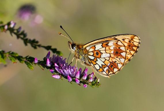 Op zoek naar zeldzame vlinders