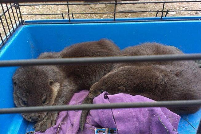 De jonge otters zijn gevonden
