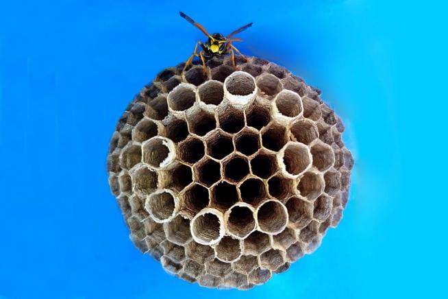 Wespenpracht